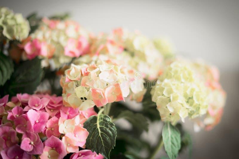 Чудесные цветки гортензии, конца вверх стоковое фото rf