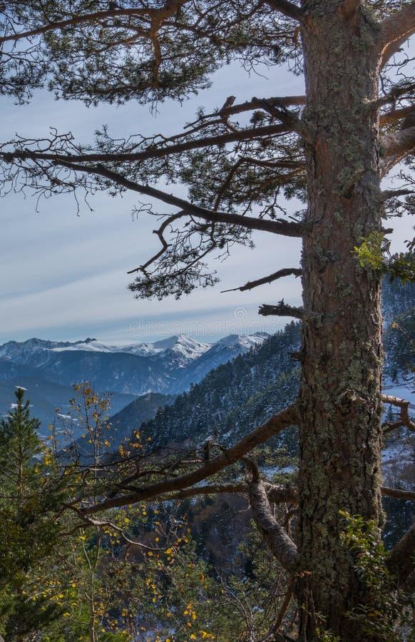 Чёрное сосны и Пиренейские горы стоковые изображения
