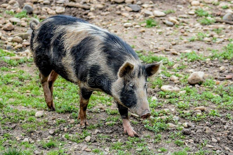 Чёрный и розовый пятнистый свиньи стоковое изображение