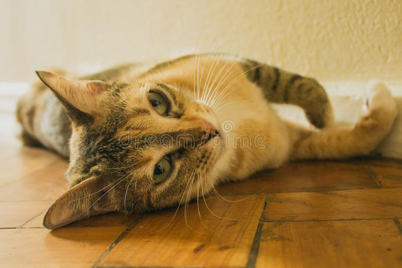 Шаловливая домашняя кошка лежа на деревянном поле Прелестный котенок tabby shorthair стоковая фотография rf