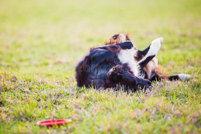 Шаловливая собака Коллиы границы чистоплеменная играя outdoors свертывать вокруг вниз в зеленой траве Прелестный щенок наслаждаяс стоковые фото