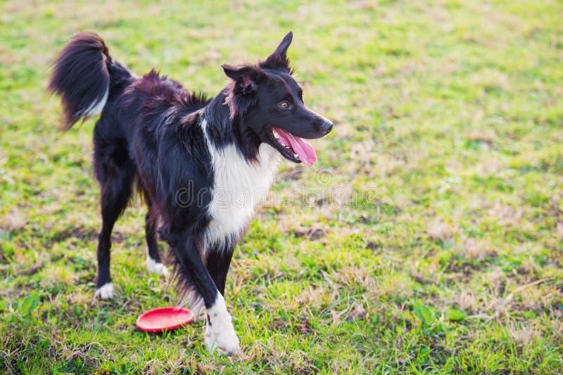 Шаловливая чистоплеменная собака Коллиы границы играя outdoors в парке города Прелестный щенок наслаждаясь солнечным днем в приро стоковые фото