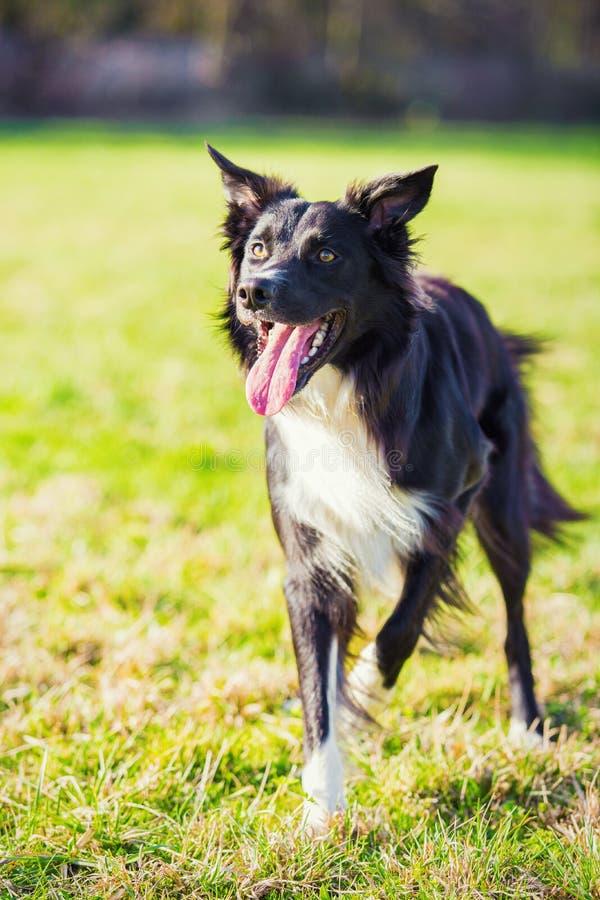 Шаловливая чистоплеменная собака Коллиы границы играя outdoors в парке города Прелестный щенок наслаждаясь солнечным днем в приро стоковые изображения