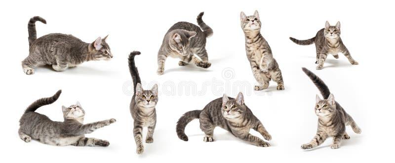 Шаловливый милый серый котенок в различных положениях стоковые фото