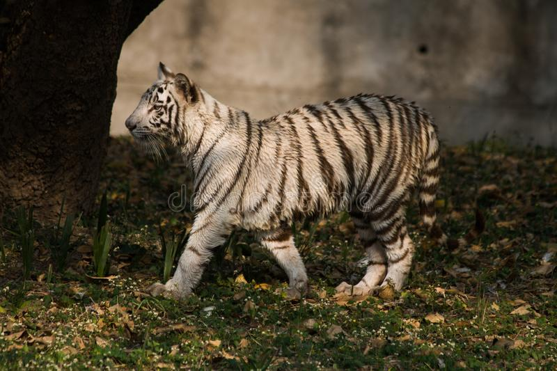 Шаловливый молодой белый новичок тигра в Индии стоковое фото rf