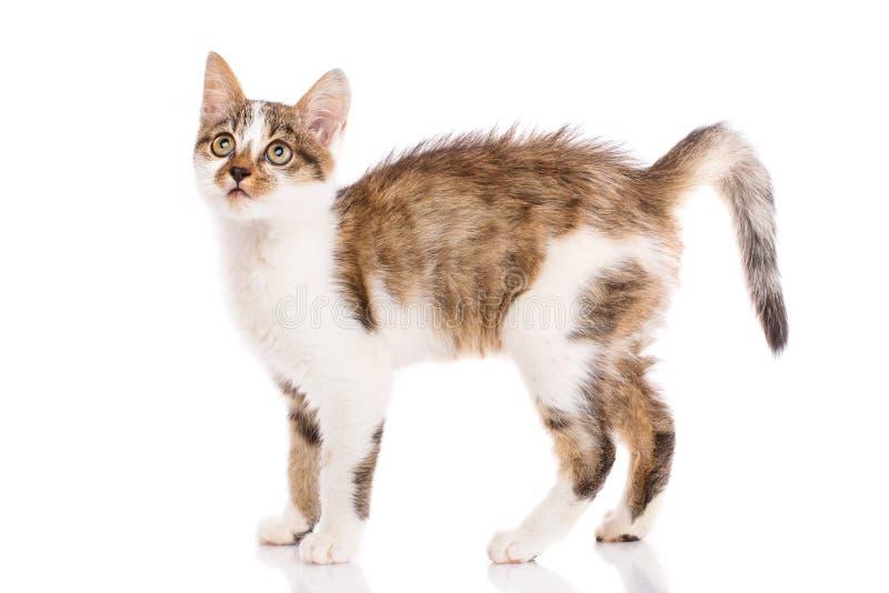Шаловливый, пушистый котенок смотря вверх o стоковое фото rf