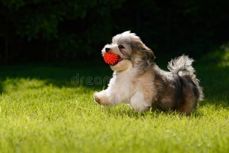 Шаловливый havanese щенок бежать с его красным шариком в траве стоковое изображение