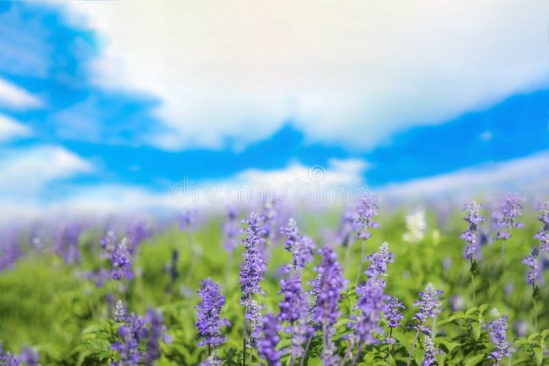 Шалфей или Salvia цветут в солнечном саде или парке против пасмурного bl стоковая фотография