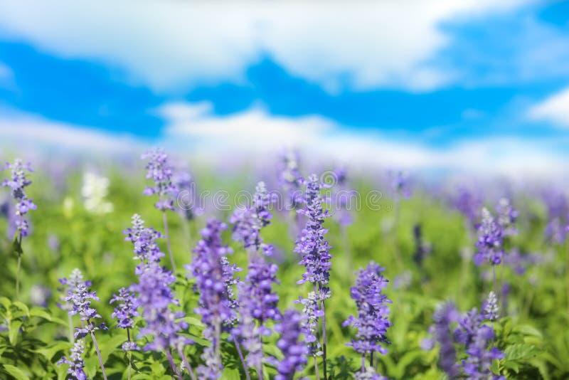 Шалфей или Salvia цветут в солнечном саде или парке против пасмурного bl стоковое фото
