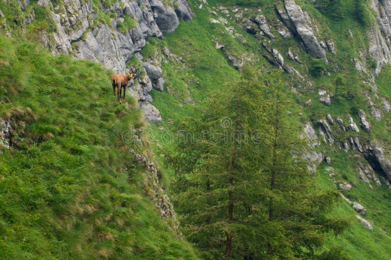 Шамуа в горах коза горы в wildeness стоковое изображение rf