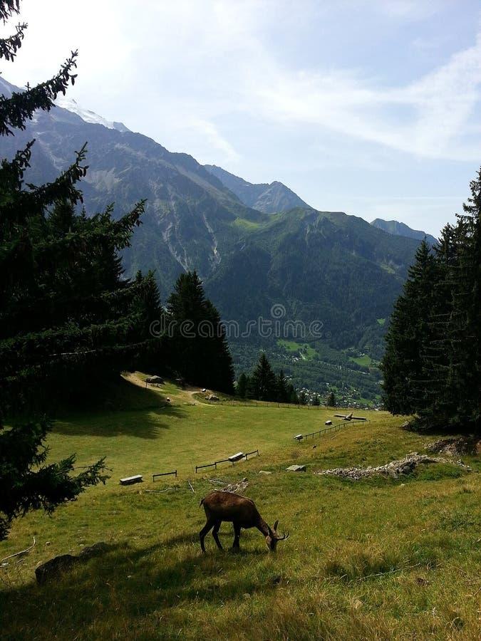 Шамуа есть траву перед французом Альпами moutain Монблана стоковые изображения