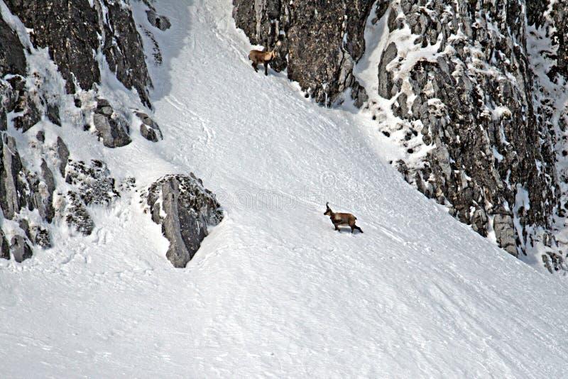 Шамуа и снег стоковые изображения