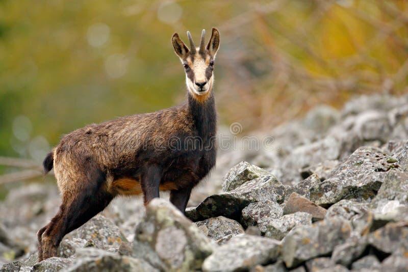 Шамуа, rupicapra Rupicapra, в зеленой траве, серый утес в предпосылке, Gran Paradiso, Италии Животное в горной вершине Сцена живо стоковое изображение rf