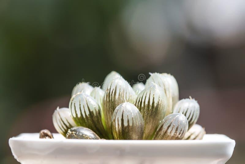 Шарики кактуса Haworthia суккулентные в баке стоковые фотографии rf