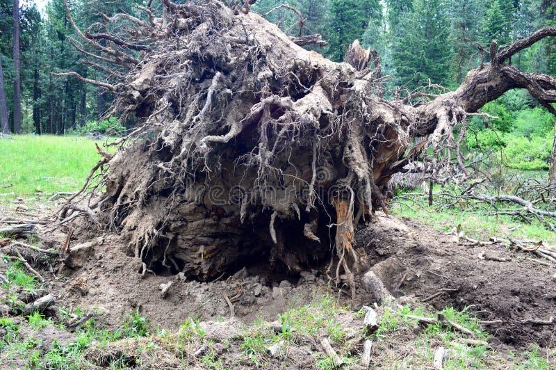 Шарик корня дерева поврежденного штормом стоковое изображение
