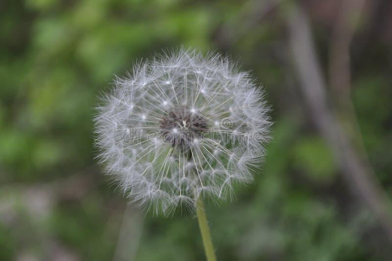Шарик летания сезонного цветка весны белый стоковое фото rf