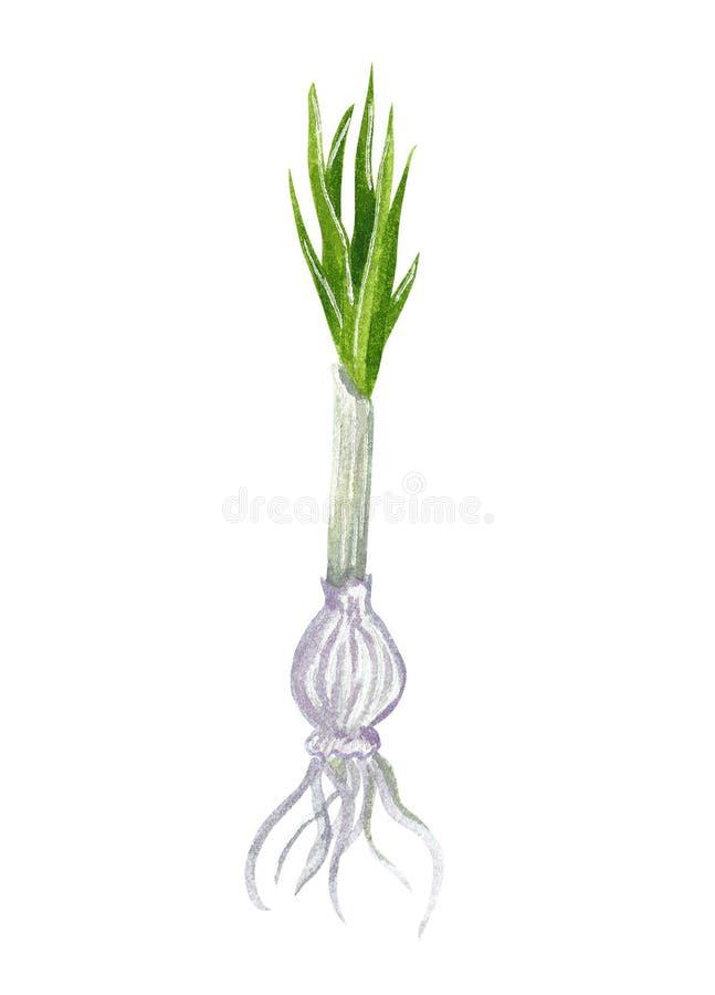 Шарик первоцвета или крокуса, первой весны садовничая, акварели руки вычерченной бесплатная иллюстрация
