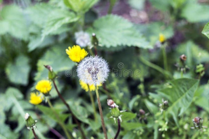 Шарик слойки одуванчика, шарик дуновения, голова семени, taraxacum leontodon от  стоковая фотография