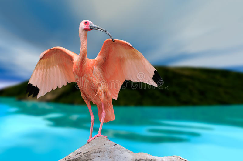 шарлах ibis стоковое фото