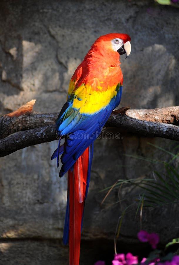 шарлах macaw стоковые фото