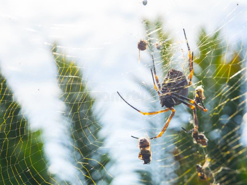 Шар-ткачи Nephila золотые шелка также обыкновенно вызывали золотых шар-ткачей, гигантских деревянных пауков, или пауков банана стоковое фото rf