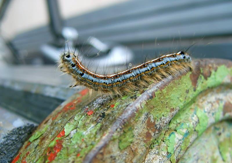шатер гусеницы восточный стоковые фотографии rf