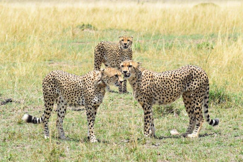 Шатия гепарда стоковая фотография rf