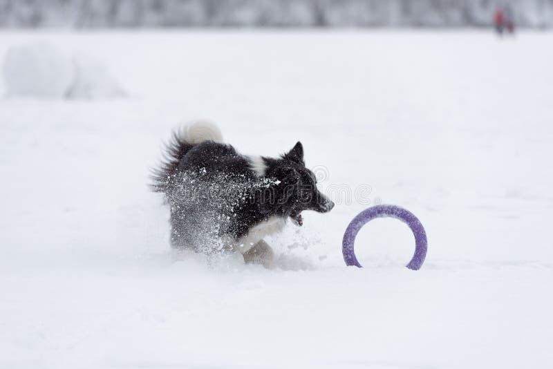 Шаловливая Коллиа границы на замороженном льде Зима Snowy в предпосылке играть игрушку стоковая фотография rf