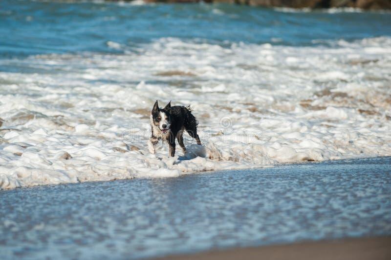 Шаловливая собака прыгая через воду океана белую стоковое изображение