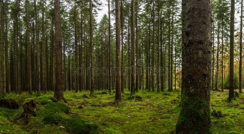 Шведские древесины с зеленым мхом стоковые фото