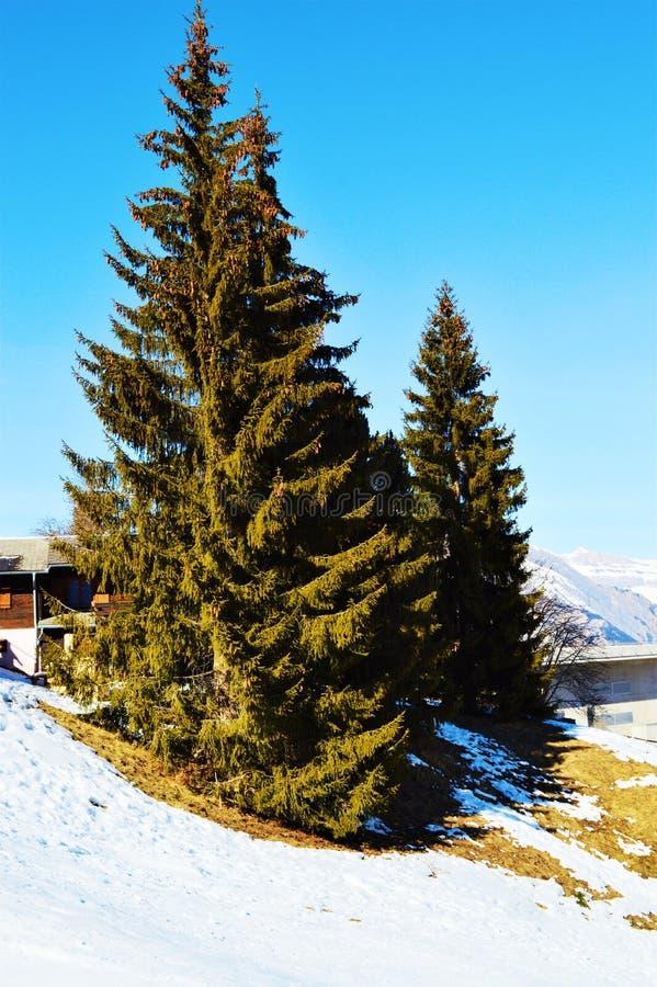 Швейцарец Альпы и высокие деревья Ландшафт стоковая фотография