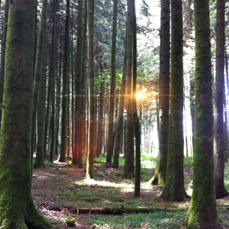 Швейцарский лес стоковое фото rf