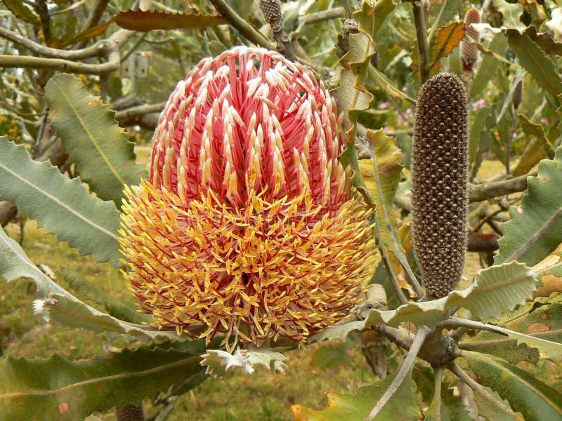 швырок banksia цветя Гавайские островы стоковые фотографии rf