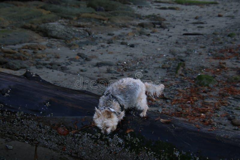 Шелковистый терьер x идя на влажный журнал стоковое фото rf