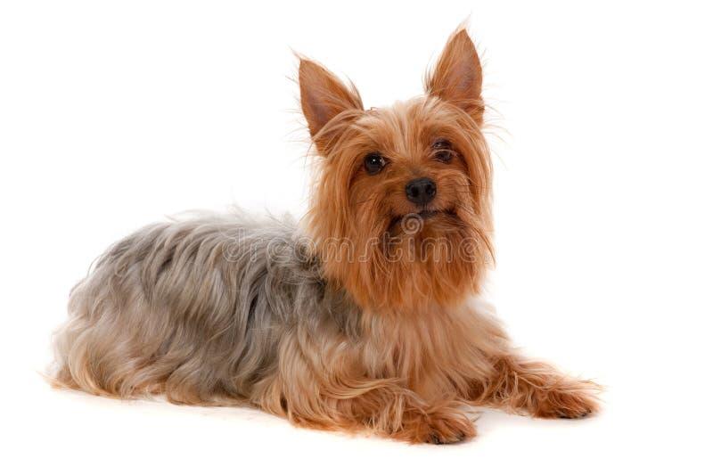 Шелковистый Terrier стоковые изображения rf