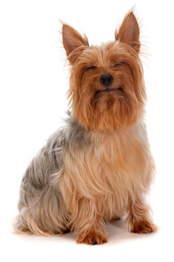 Шелковистый Terrier стоковые фото