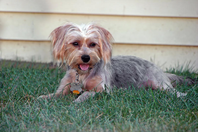 шелковистый terrier стоковое фото rf