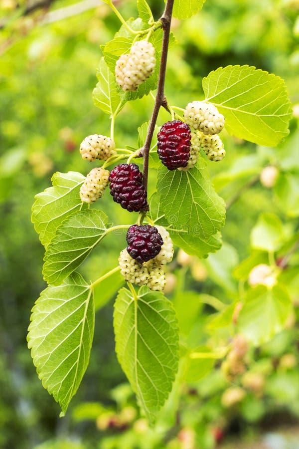 Шелковица свежих фруктов черная с листьями, красными зрелыми и красными незрелыми шелковицами на ветви дерева стоковые фото