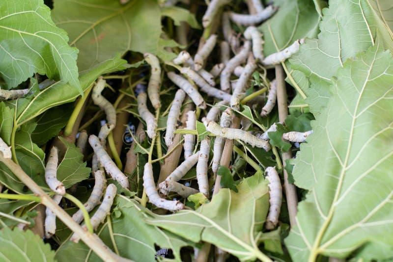 Шелкопряд есть лист шелковицы Шелкопряды стоковые изображения