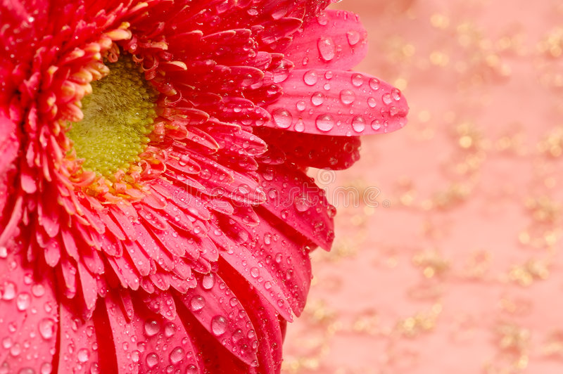 шелк близкой маргаритки предпосылки золотистый розовый вверх стоковое фото rf