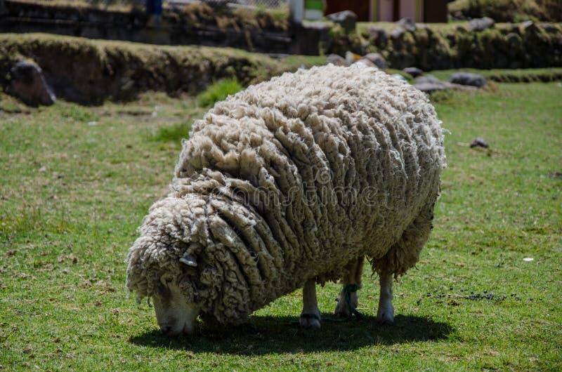 Шерстистая еда овцы стоковые изображения