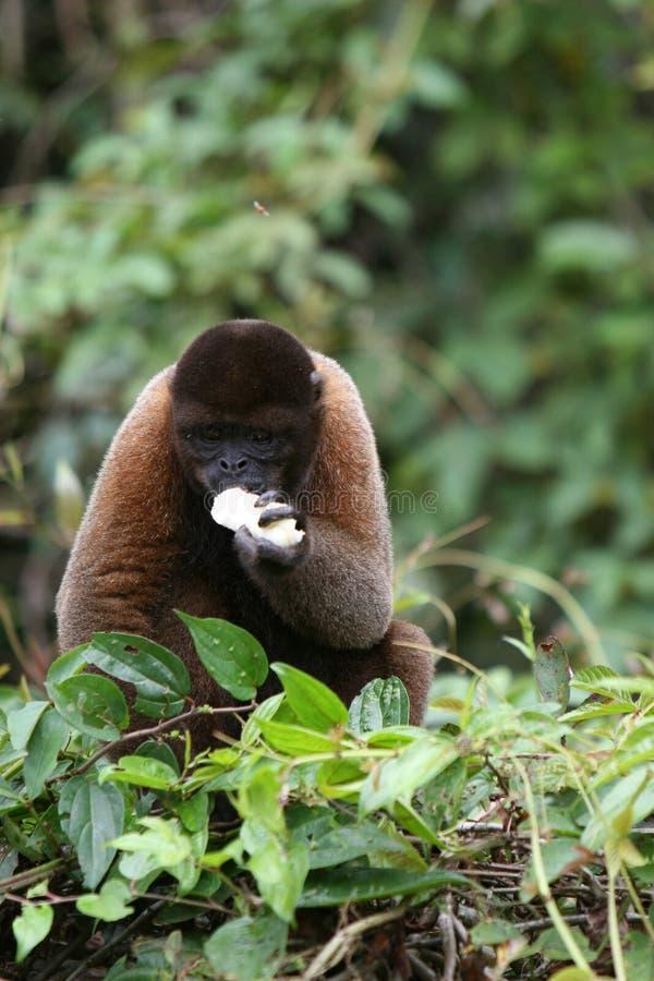 Шерстистая обезьяна в Амазонке стоковая фотография rf