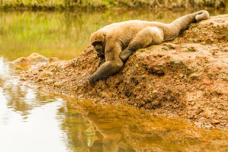 Шерстистая обезьяна в одичалом стоковая фотография