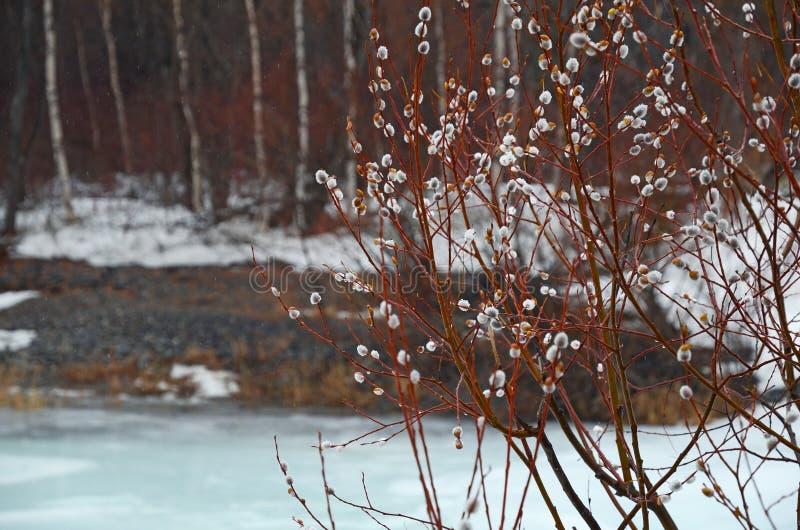 Шерстистый бутон вербы - символ воскресенья ладони в реке льда предыдущей весны близко стоковые изображения