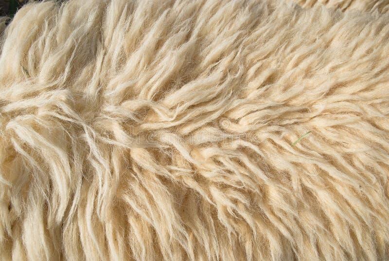 Шерсти белых овец стоковое фото
