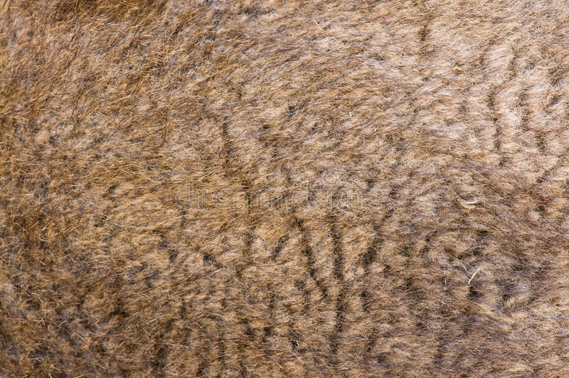 шерсть верблюда стоковые изображения