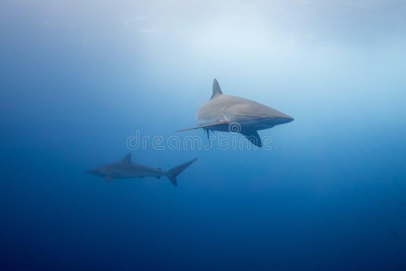 Шелковистая акула Malpelo стоковые изображения rf