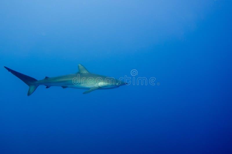Шелковистая акула Malpelo стоковая фотография rf