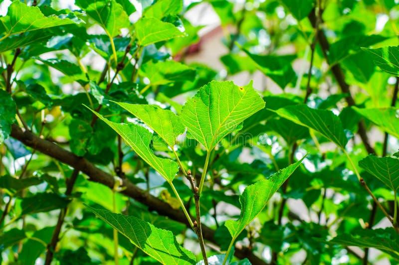 Шелковица на дереве в плантации стоковые изображения rf