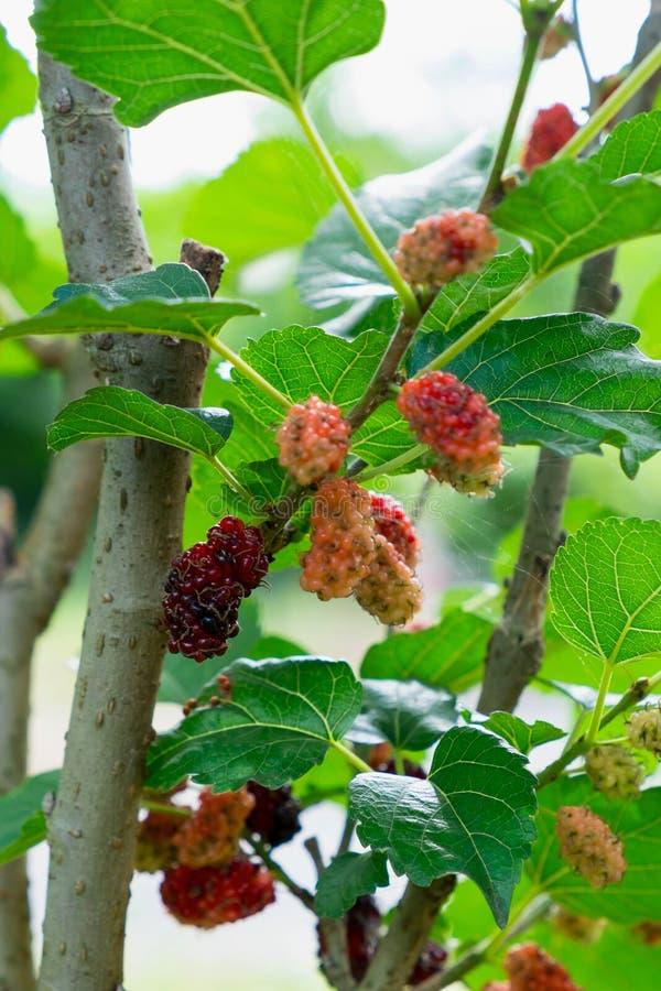Download Шелковицы на дереве стоковое фото. изображение насчитывающей листво - 81801902